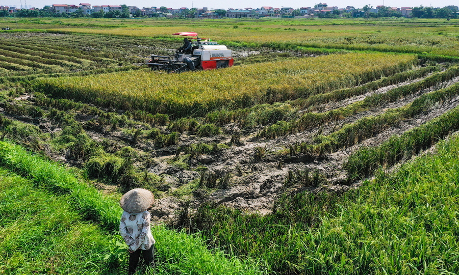 Làm lúa kiếm 500 nghìn đồng mỗi sào để yên tâm - VnExpress