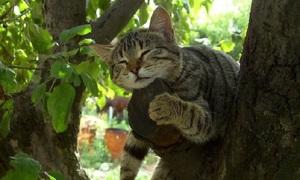 Mèo ngủ vắt vẻo trên cây