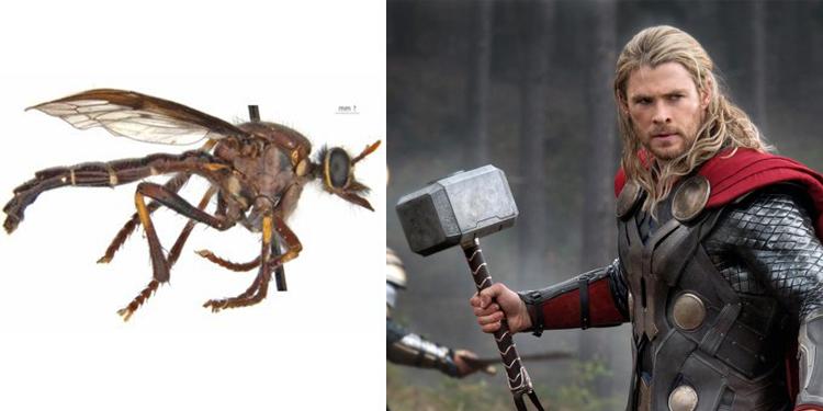 Ruồi Thor và Thần sấm. Ảnh: CSIRO