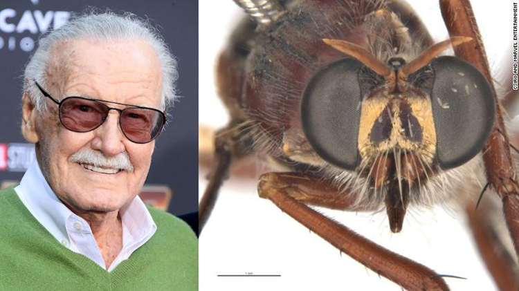 Huyền thoại Stan Lee của Marvel và ruồi Daptolestes leei. Ảnh: CSIRO.