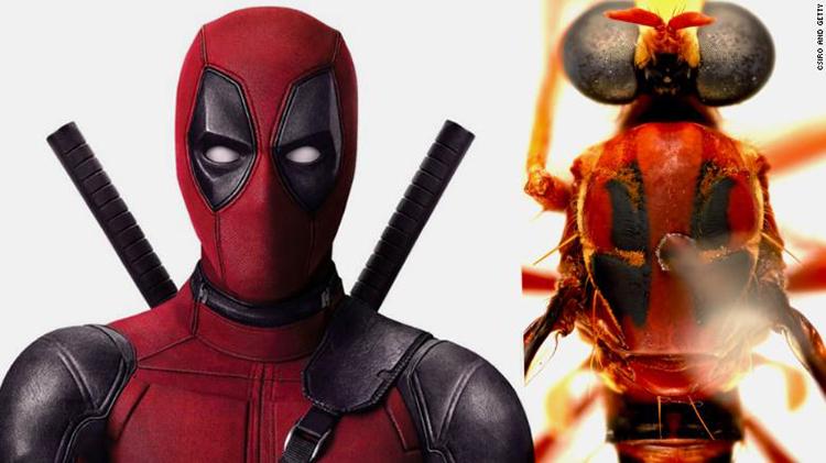 Phản siêu anh hùng Deadpool và ruồi Humorolethalis sergius. Ảnh: CSIRO.