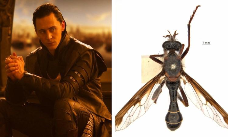 Hình dạng của ruồi Loki gợi liên tưởng đến bộ trang phục của vị Thần Lừa lọc. Ảnh: CSIRO