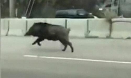 Cô gái phấn khích khi bạn bị lợn rừng bao vây - 3