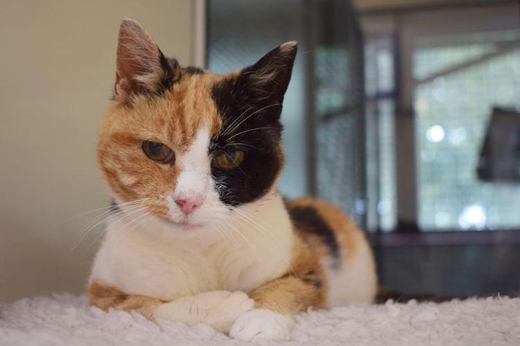 Mèo Georgie hiện được chăm sóc tại một trung tâm động vật ở Scotland. Ảnh: PA.