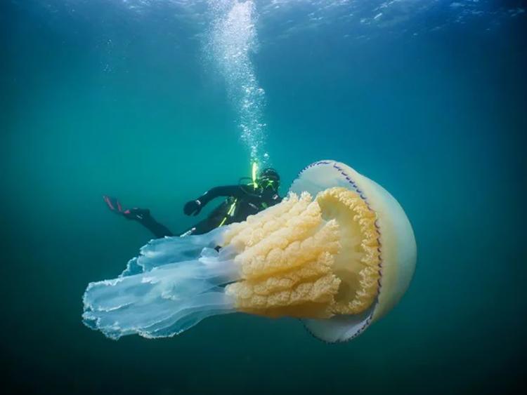 Một con sứa thùng có kích thước bằng người trưởng thành. Ảnh: Lizzie Daly/Dan Abbott.