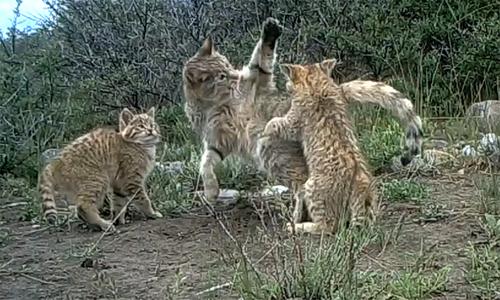 Bẫy camera ghi lại thước phim hiếm về mèo núi Trung Hoa