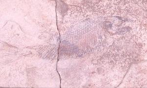 Hóa thạch cá chép 100 triệu năm tuổi