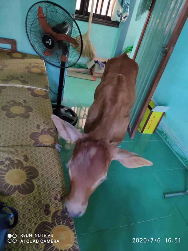 Nam sinh mếu máo vì bò xuất hiện lúc ôn thi - 6
