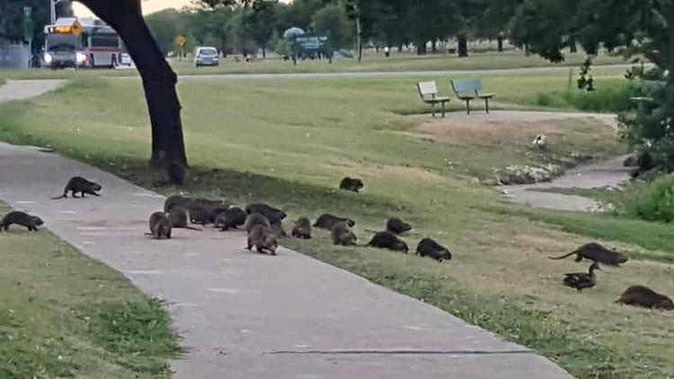 Hàng chục con chuột đầm lầy lang thang tại công viên Krauss Baker vào thứ Sáu tuần trước. Ảnh: KSAT.