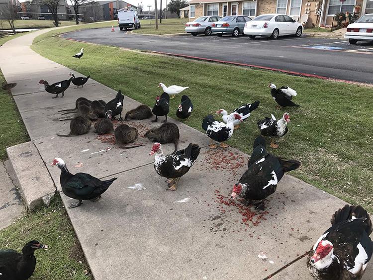Chuột đầm lầy tranh thức ăn với đàn vịt tại công viên. Ảnh: Daily Star.