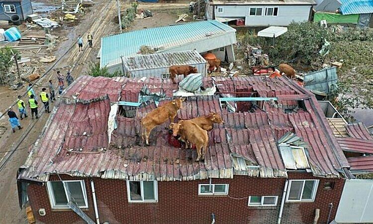 Đàn bò mắc kẹt trên mái nhà ở Gokseong, tỉnh Nam Jeolla, Hàn Quốc, hôm 9/8. Ảnh: Yonhap.