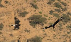 Đại bàng đực làm mồi nhử giúp con cái đi săn