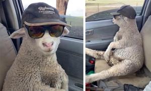 Cừu quá giang ôtô đuổi theo đàn vì đi chậm