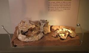 Khôi phục hóa thạch rùa cổ đại 205 triệu năm tuổi