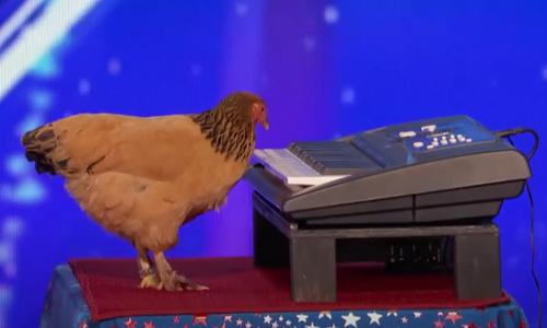 Cặp vịt đực trả thù gà mái mỗi ngày - 2
