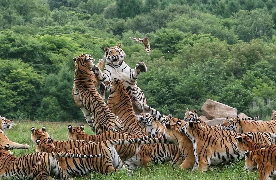 Giống như mọi ngày đàn hổ khoảng 20 con đi săn, thế nhưng không phải linh dương hay nai, mục tiêu lần này của chúng là một con chim nhỏ bé, dù con mồi này có lẽ chẳng dính răng một trong số chúng.