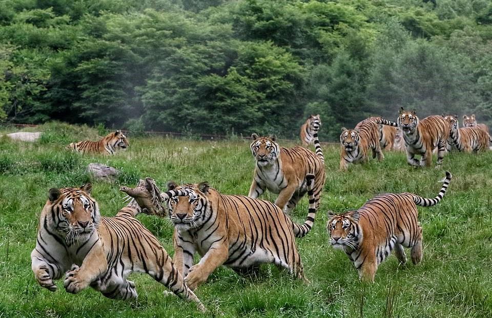 Đây là Trung tâm nuôi hổ Siberia lớn nhất thế giới và là ngôi nhà chung của hơn 1.000 con hổ.