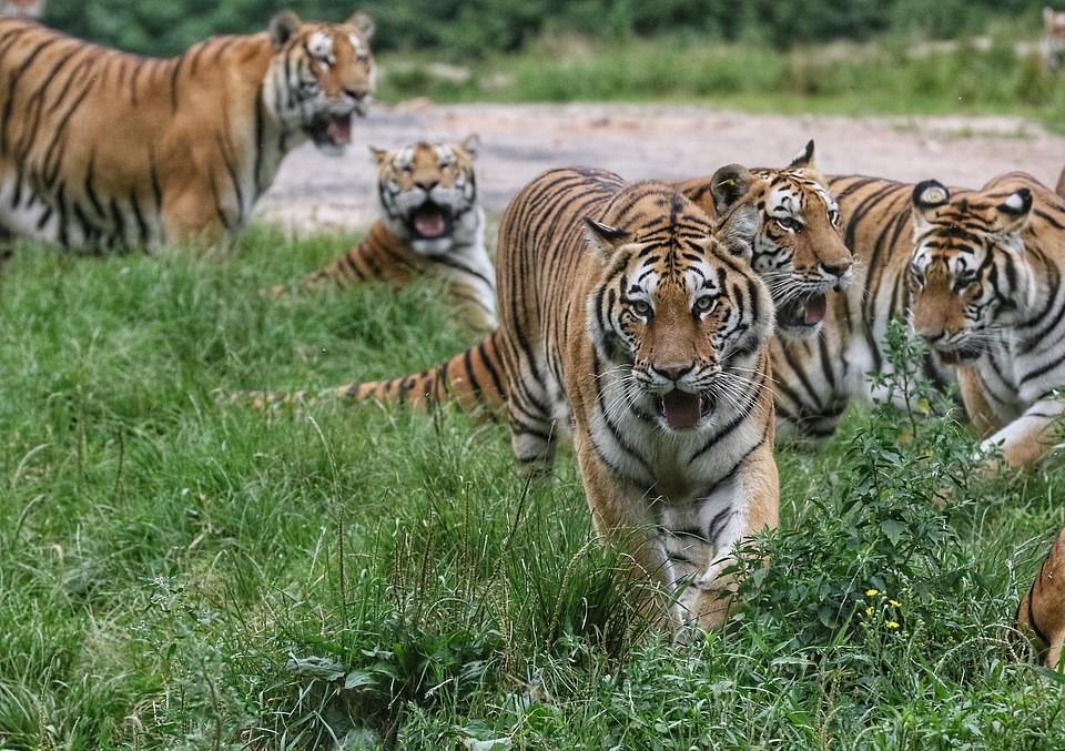 Nhiều người cho rằng, có lẽ do được chăm sóc khá tốt nên hổ Siberia ở đây tương đối nhàn hạ đến mức chúng đành đuổi chim, bắt bướm để đỡ buồn chán.