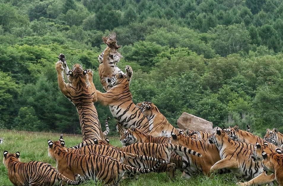 Dẫu vậy, những con hổ vẫn thi nhau nhảy lên tranh con chim nhỏ một cách khốc liệt, tăng phần kịch tính cho chuyến đi săn, cũng như để khẳng định ngôi vua.