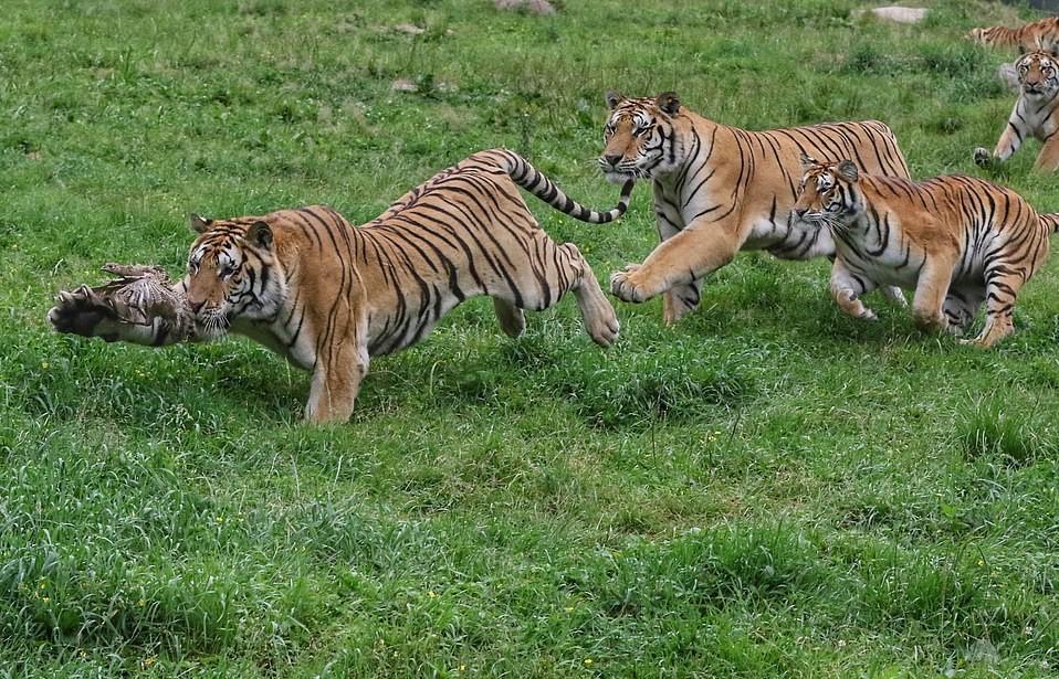 Những bức ảnh được chụp vào ngày 29/7 - ngày Quốc tế Hổ tại Trung tâm nhân giống hổ Hengdaohezi ở Cáp Nhĩ Tân, Trung Quốc.