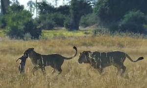 Sư tử con cướp xác lợn bướu của mẹ