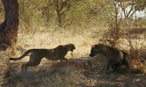 Báo săn bỏ chạy dâng mồi cho linh cẩu