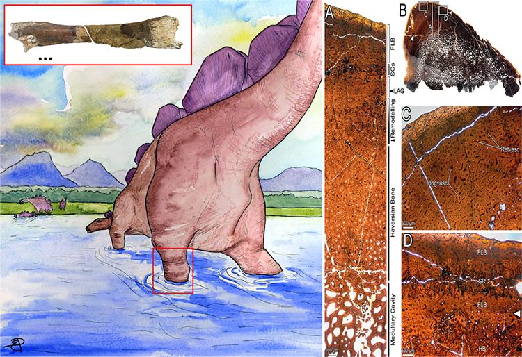 Hóa thạch xương chi sau của một con Stegosaurus được tìm thấy ven đảo Eigg. Ảnh: Elsa Panciroli.
