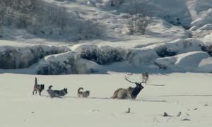 Nai sừng xám thoát hàm sói trong gang tấc