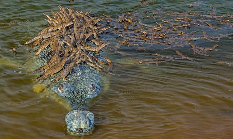 Đàn cá sấu con trèo lên lưng bố. Ảnh: BBC.