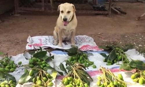 Chó cưng làm thương nhân bán rau ngoài chợ - 1
