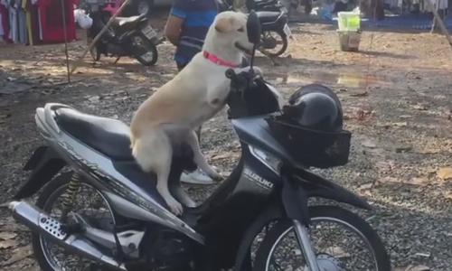 Chó cưng làm thương nhân bán rau ngoài chợ - 2