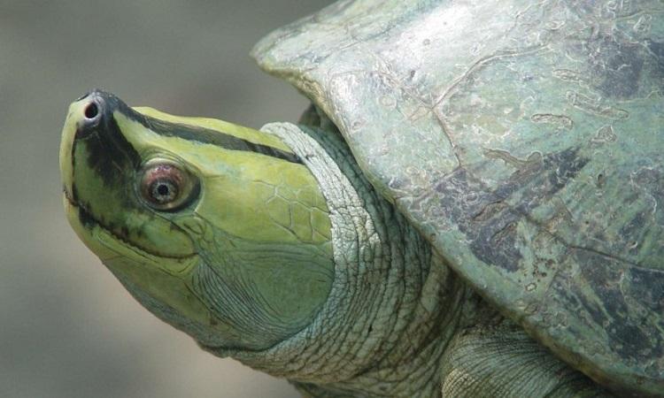 Rùa mái nhà Myanmar phục hồi sau nhiều năm vắng bóng. Ảnh: CBS.