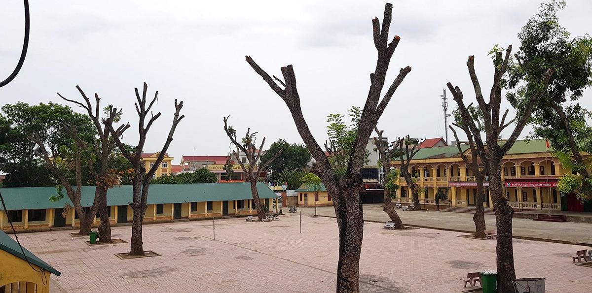 Toàn bộ số xà cừ trong sân trường Tiểu học Hải Bình đã bị cắt trụi cành. Ảnh: Lam Sơn.