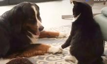 Chủ ghi lại chị em chó mèo chơi đùa