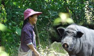 Nông dân vùng cao gần chục năm nuôi lợn nanh dài