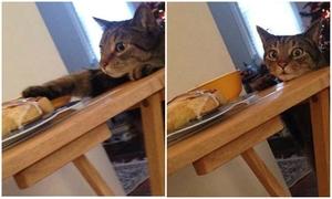 Mèo ăn vụng bị bắt quả tang