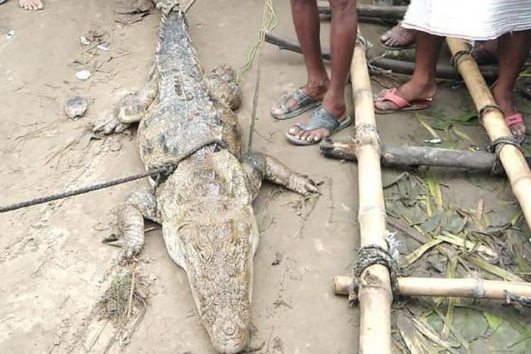Con cá sấu bị người dân bắt tại làng Midania, bang Uttar Pradesh, Ấn Độ, hôm 8/9. Ảnh: AFP.