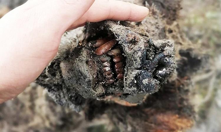 Hàm răng của con gấu hang động 39.000 năm tuổi. Ảnh: Siberian Times.