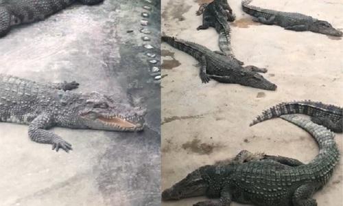Cá sấu ngậm ngùi vì săn hụt ngựa vằn - 2