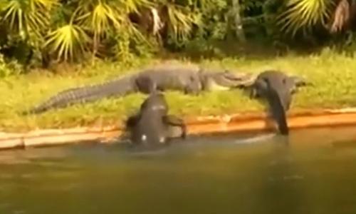 Cá sấu ngậm ngùi vì săn hụt ngựa vằn - 3