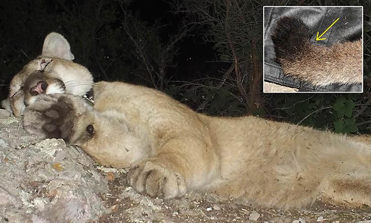 Một con sư tử núi bị dị tật do giao phối cận huyết ở California. Ảnh: NPS.