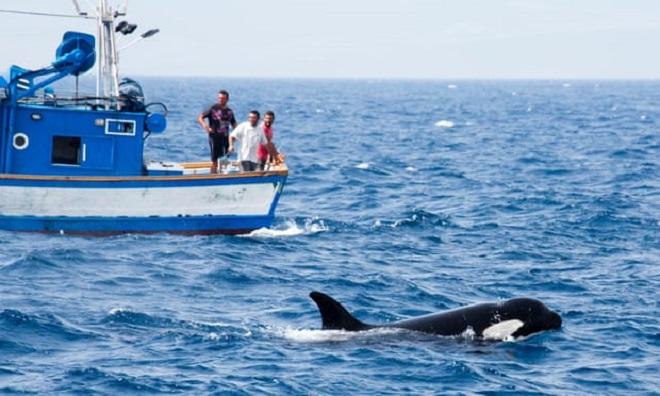 Cá voi sát thủ kiếm ăn gần tàu cá của Morocco ở eo biển Gibraltar. Ảnh: Patty Tse.