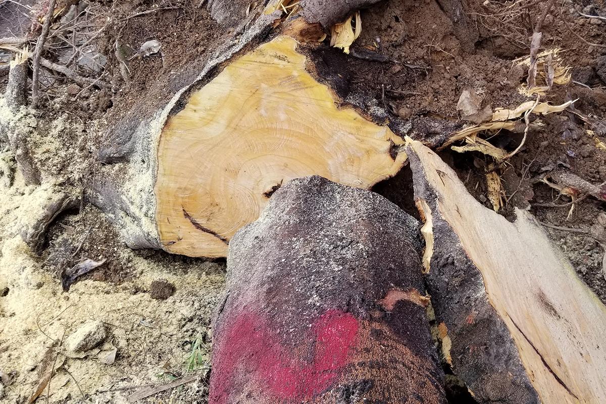 Cả 4 cây xanh sau khi cưa hạ phần thân không bị sâu mục, tuy nhiên phần gốc, rễ bị hư hỏng do bị đầu độc bằng hóa chất. Ảnh: Giang Chinh