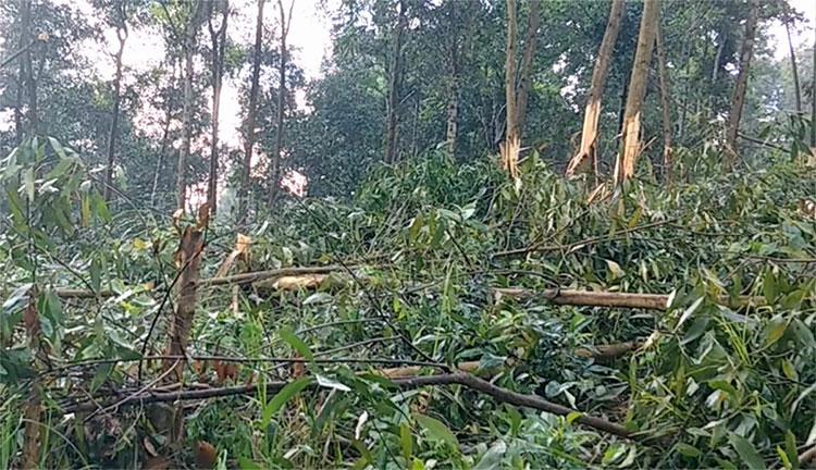 Vườn keo tràm của bà Hường bị phá hoại hồi tháng 4. Ảnh: Hùng Lê