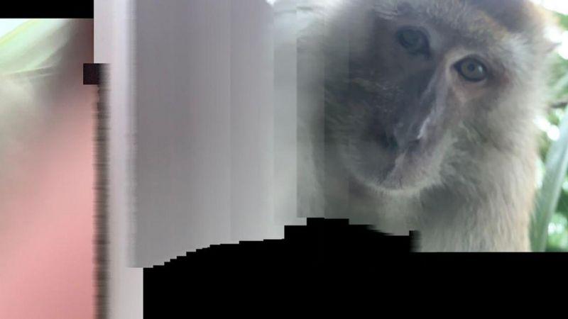 Một trong những ảnh chú khỉ selfie trong máy điện thoại của Rodzi. Ảnh: Facebook/Zackrydz Rodzi.