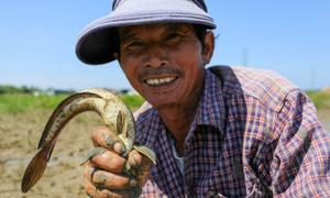 Bắt cá trên đồng sau thu hoạch lúa
