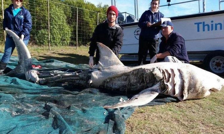 Xác một con cá mập trắng bị cá voi sát thủ giết chết. Ảnh: Sun.