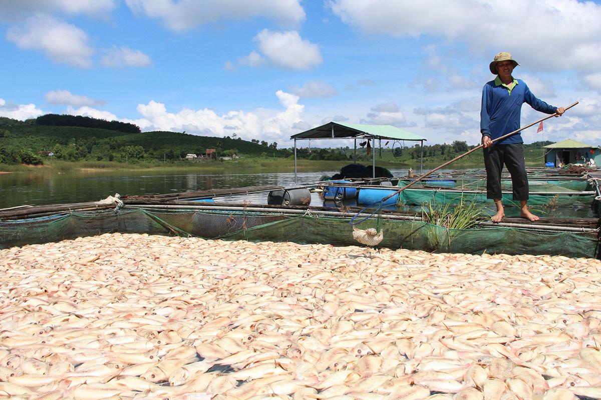Người dân vớt xác cá đem đi chôn, tránh ô nhiễm nguồn nước, ngày 21/9. Ảnh: Ngọc Oanh.