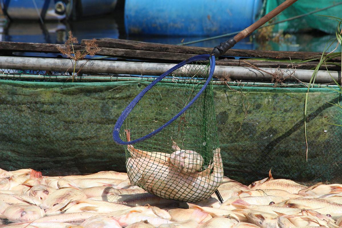 Xác cá diêu hồng nổi lềnh bềnh trên mặt nước, ngày 21/9. Ảnh: Ngọc Oanh.