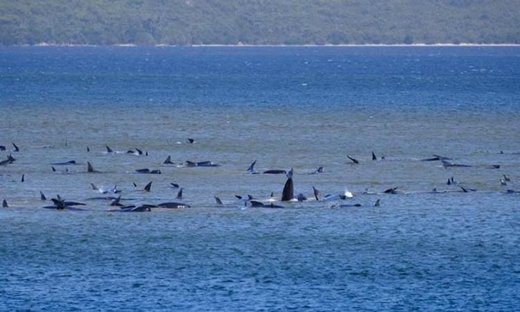 Cá voi mắc cạn hàng loạt ven đảo Tasmania. Ảnh: Cảnh sát Tasmania.